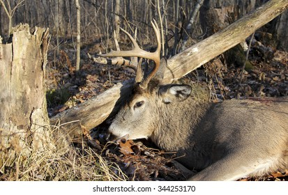 Trophy Wisconsin whitetail buck on the ground in a forest after being shot by a hunter