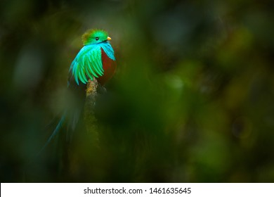Tropic bird. Quetzal from Guatemala, Pharomachrus mocinno, from forest with blurred green forest in background. Magnificent sacred green and red bird. Detail forest hidden of Resplendent Quetzal