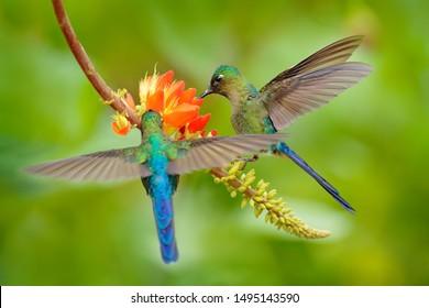 Tropic nature. Bird with orange flower. Long-tailed Sylph, Aglaiocercus kingi, rare hummingbird from Colombia,
