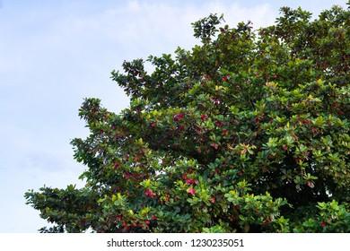 tropical almond tree, it is called as Hu Kwang tree in Thai