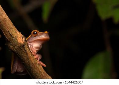 Tropical Amazon rain forest tree frog, Dendrosophus triangulum