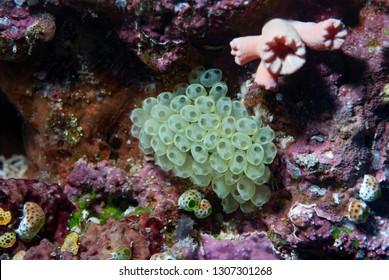 Tropical Ascidians Sea Squirts