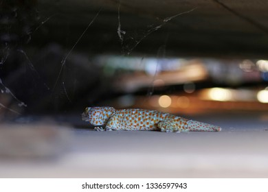 Tropical Asian Gecko or Calling Gecko is a true gecko species, it's big reptile moving on the wall. Detail of Asian common house gecko. Selective focus and Free copy space.