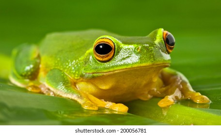 A tropical Australian Orange thighed Tree frog, Litoria xanthomera, sitting on a leaf.