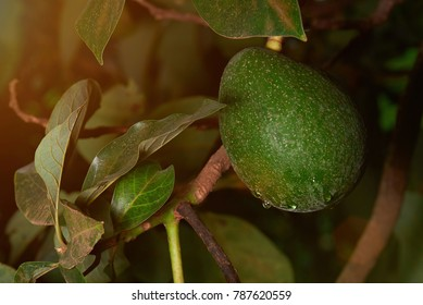 Tropical avocado green fruit close-up on blurred tree background