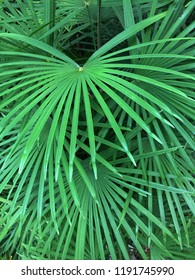 Tropical background texture of various, lush green palm leaves