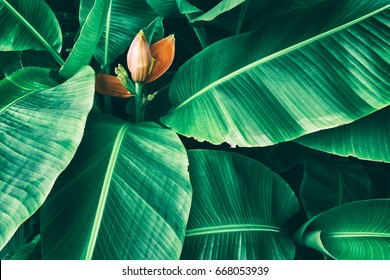 tropical banana foliage texture, large palm leaf nature background