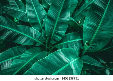 tropical banana leaf, abstract green banana leaf, large palm foliage nature dark green background