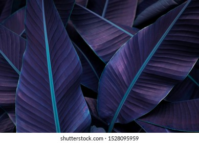 Tropical banana leaf concept, natural purple banana leaf, green background in Asia and Thailand