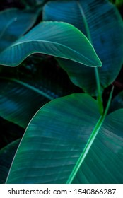 Tropical banana leaf concept, natural green banana leaf, green background in Asia and Thailand