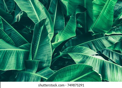 Photo of tropical banana leaf texture, large palm foliage nature dark green background