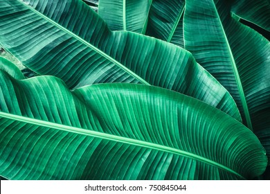 tropical banana leaf texture, large palm foliage natural dark green background