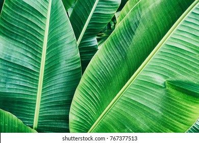 tropical banana leaf texture large palm foliage natural green background