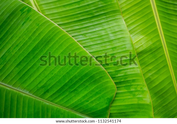 Tropical Banana Leaf Texture Large Palm Stock Photo Edit Now 1132541174 Havana leaves wall art kit contains 6 pieces on 1 sheet that discover all our articles: shutterstock