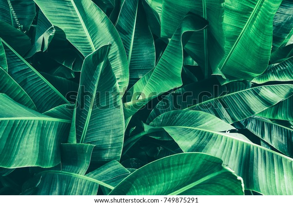tropical banana leaf texture, large palm foliage nature dark green background
