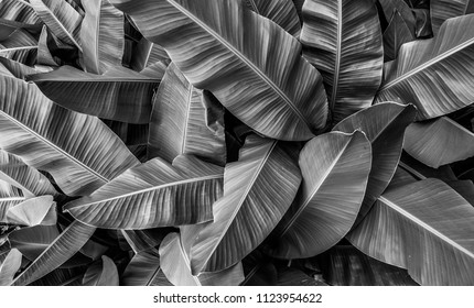 tropical banana leaves , black and white tone