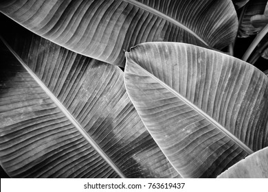 tropical banana palm leaf texture background, black and white tone