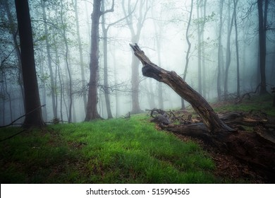 Tropical beech forest in the fog