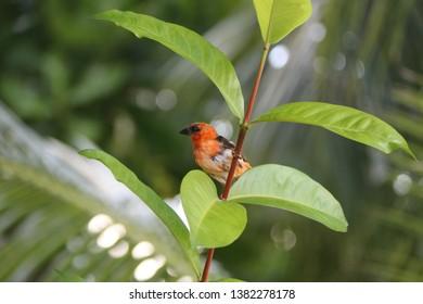 Tropical bird at Mahé Island, Seychelles.