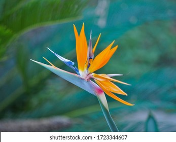 Tropical Bird of Paradise Flower in Residential Garden in New Orleans, LA, USA