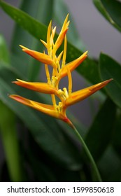 Tropical bird of paradise plant flower closeup with green leaves
