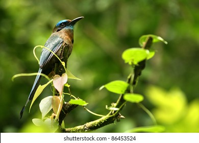 A tropical bird in a rain forest of Costa Rica: this is a turquoise-browed motmot (Eumomota superciliosa)
