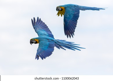 Tropical birds in flight. Blue and yellow gold Macaw parrots flying. Beautiful South-American wildlife and nature image with macaws naturally isolated against a plain sky background.
