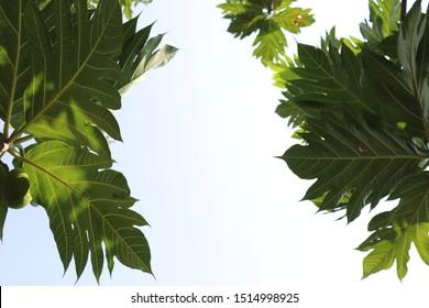Tropical breadfruit (Artocarpus altilis) tree with a bright blue sky.