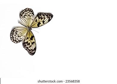 Tropical Butterfly Idea Leuconoe on white