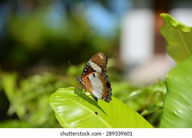 Tropical butterfly on a leaf - Seychelles