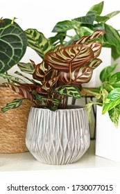 Tropical 'Calathea Makoyana' Prayer Plant with beautiful pattern in gray flower pot surrounded by other house plants