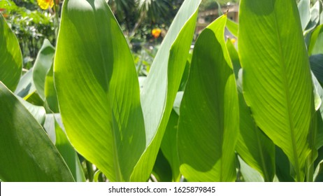 Tropical Canna Lily leaves that like banana leaf. tropical spring and summer leaves background.