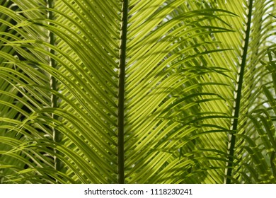 tropical cobia green leaves as background