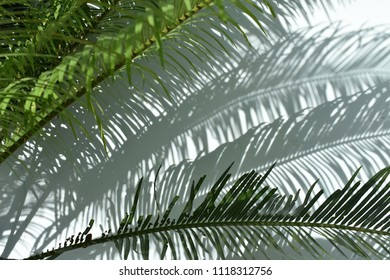 tropical cobia leaf shadow on white wall