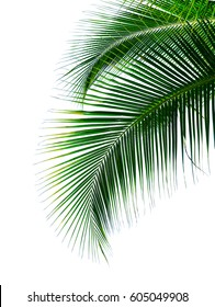 tropical coconut palm leaves isolated on white background