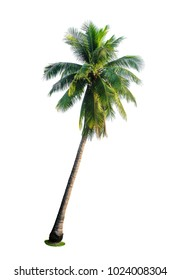 tropical coconut palm tree isolated on white background