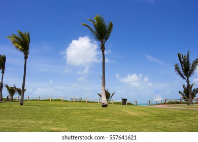 Tropical coconut palms swaying in the wind on a hot  sunny morning in the Summer Wet Season on the landscaped area of Cable Beach, Broome, North Western Australia with a backdrop of white clouds.