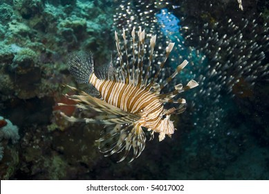 Tropical Common lionfish (Pterois miles). Naama Bay, Sharm el Sheikh, Red Sea, Egypt.