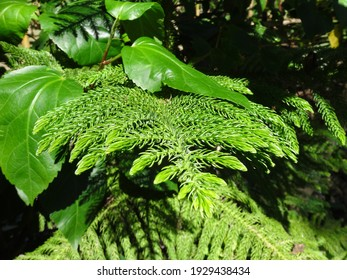 Tropical coniferous plant in the caribbean