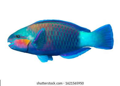 Tropical coral fish Parrot fish (Scarus frenatus) isolated on white background