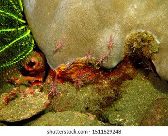 Tropical coral reef and red shrimps (Durban hinge-beak dancing shrimp, Rhynchocinetes durbanensis) in sea. Red prawns with white strips and big green eyes. Scuba diving with marine wildlife.