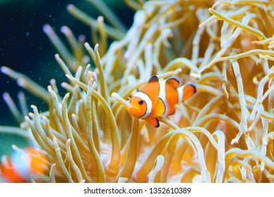 Tropical and coral sea fish. Beautiful underwater world. Clown fish