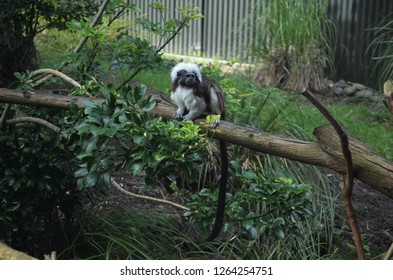 tropical cotton-top camarin (Saguinus oedipus) monkey with black and white face pattern