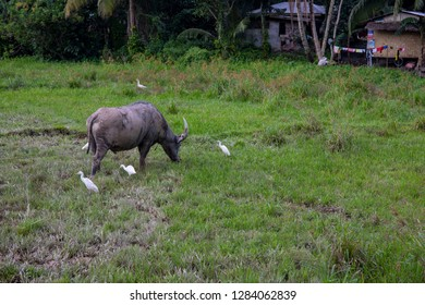 Tropical countryside with green field and buffalo. Philippines agriculture land. Carabao with white herons on pasture. Countryside land in South Asia. Grey buffalo bull with big horns in green grass