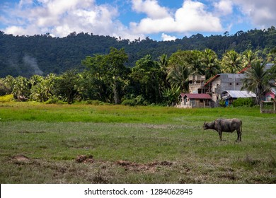 Tropical countryside with green forest, field and buffalo. Farm building and animal. Carabao bull in sunny landscape. Asian rural land. Agriculture in Philippines. Idyllic pasture and big buffalo bull
