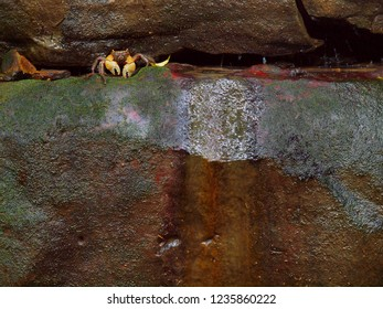 tropical crab in a crevice of a wet rock face in the tropical rain forest on Iriomote Island, Japan