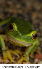 The tropical dainty tree frog (Litoria gracilenta) close-up. Mareeba, Queensland, Australia.