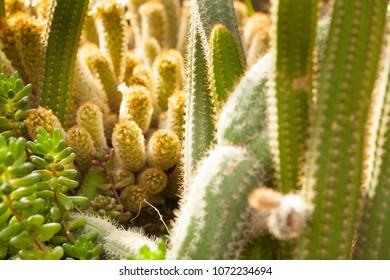 Tropical desert cactus