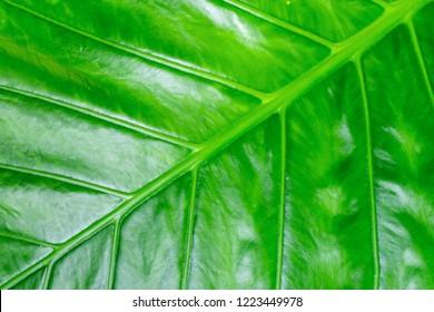 tropical design green fresh banana leaf background flora oblique line pattern
