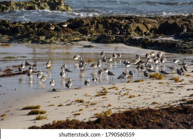 Tropical ecosystem. Wildlife. Colony of Calidris alba seabirds, also known as Sanderlings, in the ocean beach. The sargassum weed, rocks and sea waves are part of the environment.